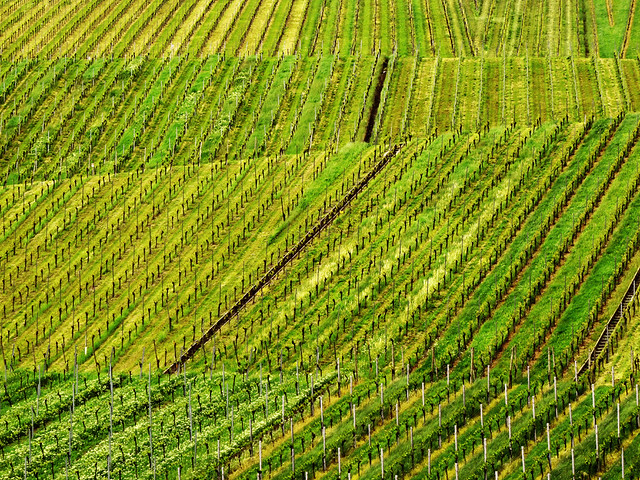Vineyard Lines in Spring