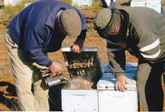 Peter Murphy inspecting his hives at Robinvale