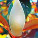 Magnolia Bud Illuminated by dorameulman