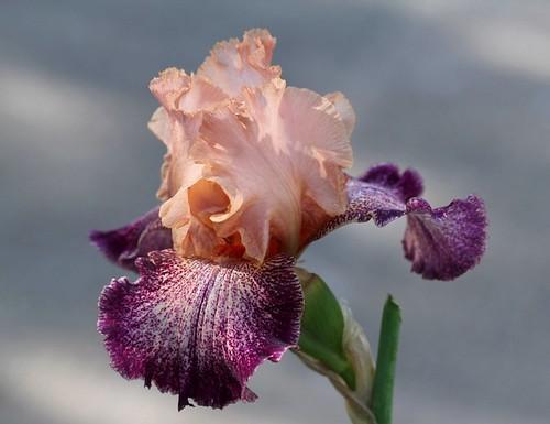 Iris - floraisons 2011 - Page 2 8982940019_012ff11476