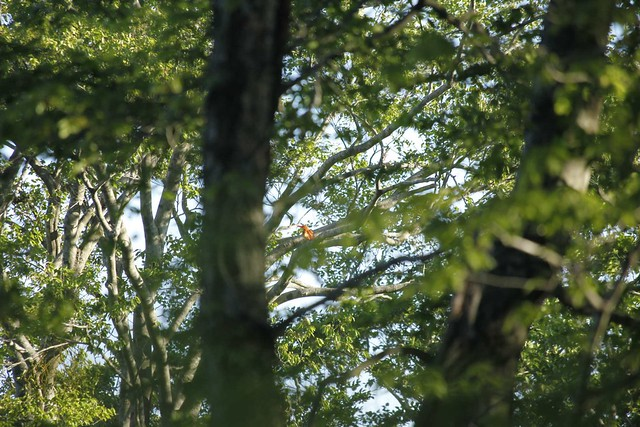 この赤さが見えますか?鳴き声も姿も美しいアカショウビンです.