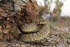 Mojave Rattlesnake (Crotalus scutulatus scutulatus)