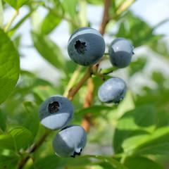 Bleuets - blueberries