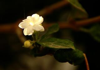 Jasmin du soleil