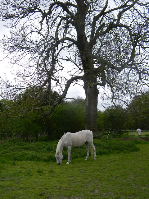 White horse and tree