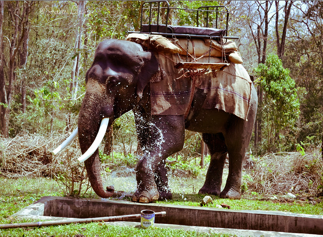 topslipelephant