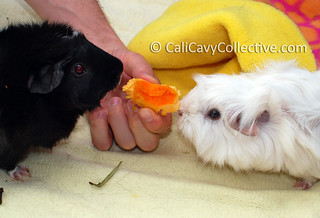 Cavies Revy and Abby-Roo try eating pumpkin