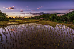Ricefield at Sunset