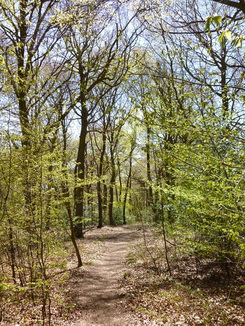 New leaves in Wendover woods