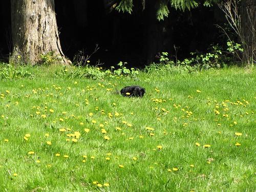 Bear Cub and a lot of dandelions