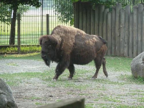 Bison at Buffalo Zoo