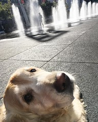 October 10, 2016 - 08:23 - Selfie!  #dogsofinstgram #dogsofinsta #goldenretriever #goldensofinstagram #dog #dogs #wishlovecouldcurecancer #specialguy #saturdaymorning #bslsucks #toronto #ontario #canada
