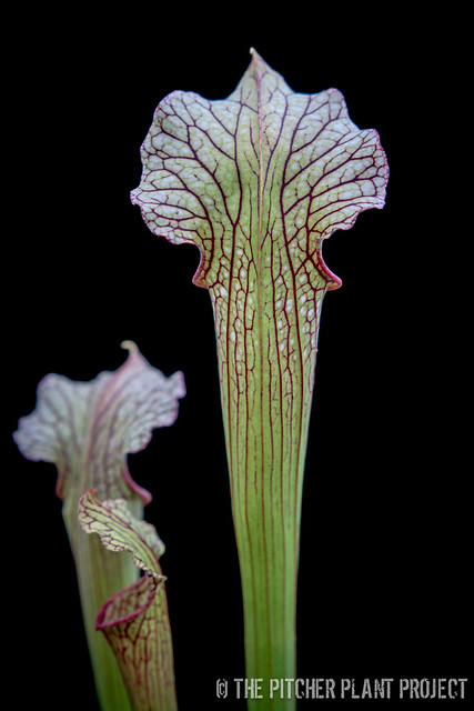 "Sarracenia (leucophylla ""Purple Lips"" x flava var. rubricorpora) x ""Green Monster"""