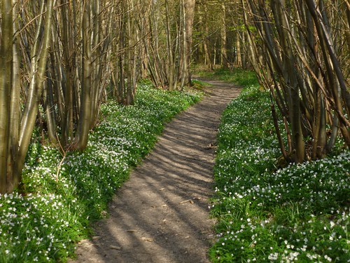 Wood anemone path just after Fordwich