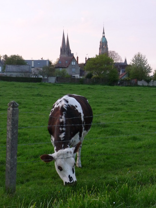 Cows in Bayeux