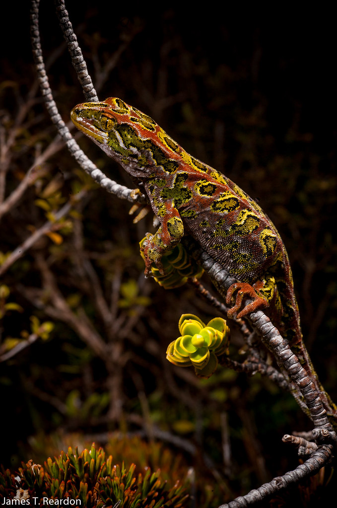 Tukutuku rakiurae, the Harlequin gecko photo James T. Reardon-6045