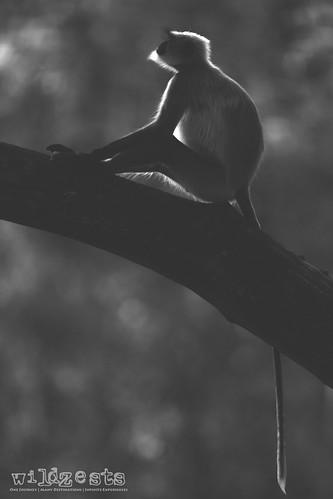 Backlit Langur