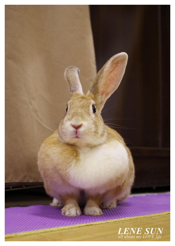 開刀在家不出門陪兔子過日子