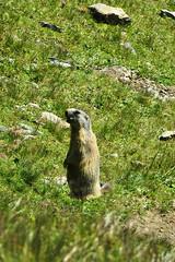 Alpine Marmot - Graubünden - Switzerland