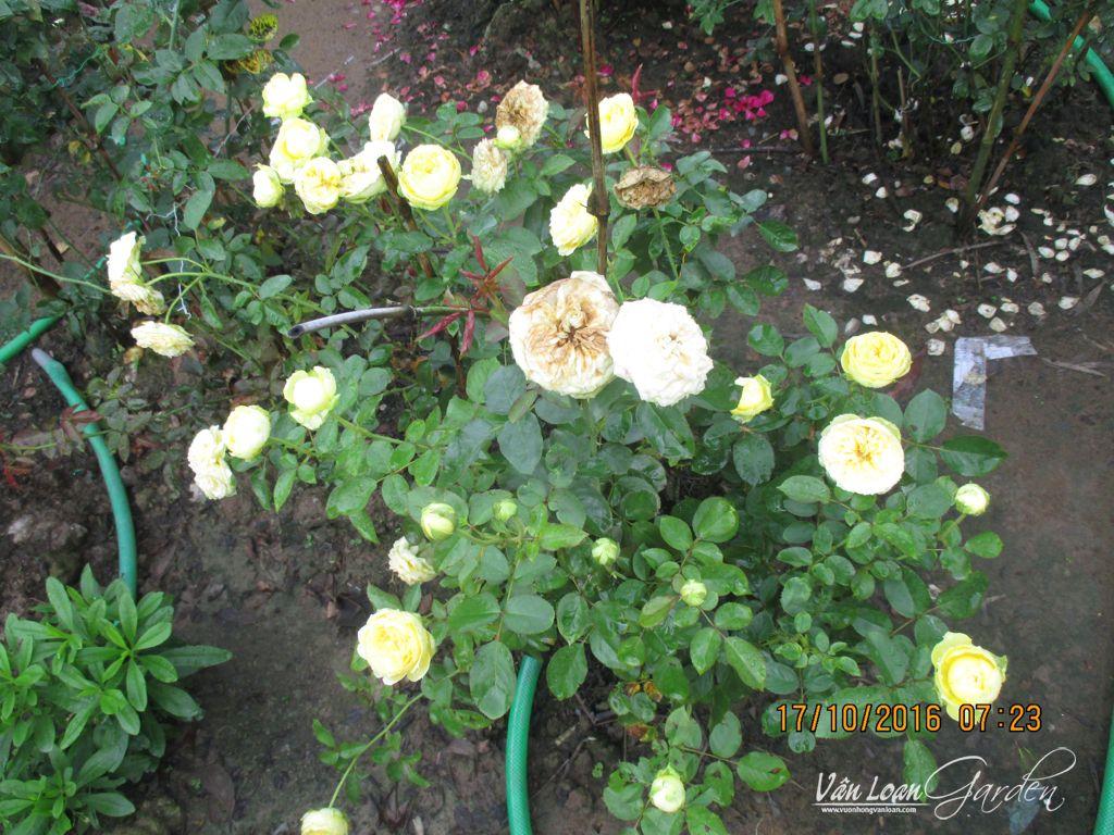 Bụi hồng Catalina Rose tại vườn nhà