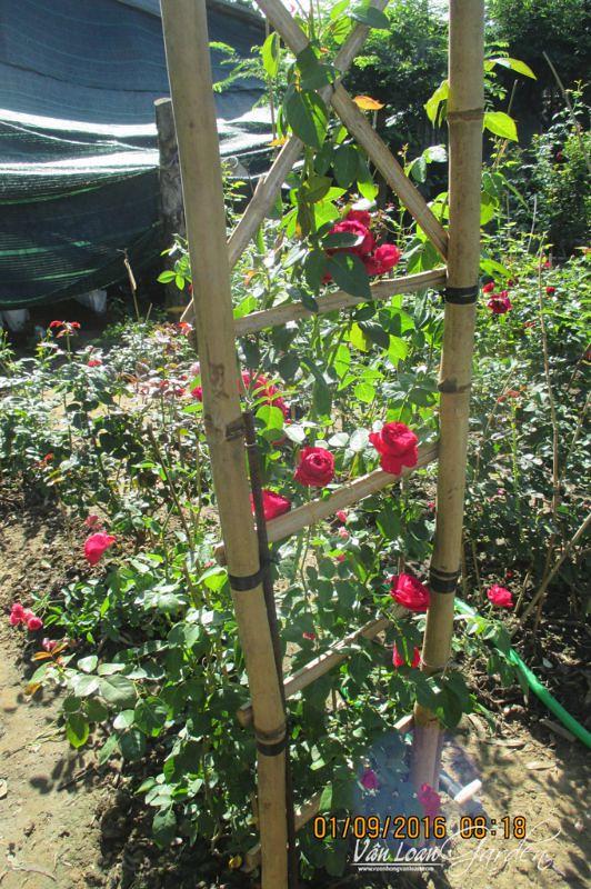 hoa hong leo red eden rose 1111 (5)-vuonhongvanloan.com