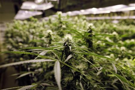 'Drug-type' Cannabis sativa L.
