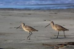 animal, charadriiformes, fauna, redshank, calidrid, sandpiper, bird, wildlife,