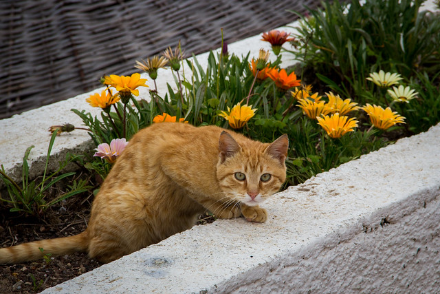 Flowerbed Cat - Bodrum, Turkey