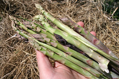 asparagus 094