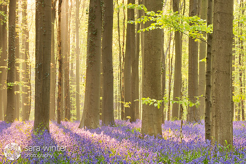 Bluebell forest por Sara Winter