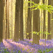 Bluebell forest by sara winter