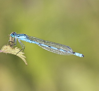 Northern Blue Damselfly