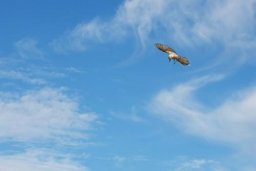 birds texas birdsinflight southlake scissortailedflycatcher tyrannusforficatus skydance bobjonespark
