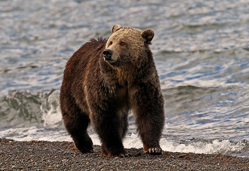 Yellowstone Grizzly 3