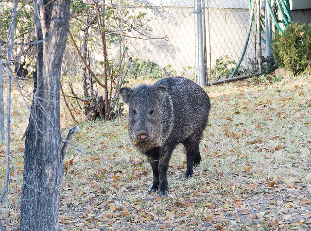 Javelina in Yard 2