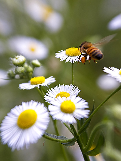 Honeybee & Fleabane by Perspective Viewpoint