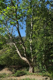 J20160926-0053—Platanus racemosa—RPBG