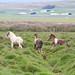 Icelandic Horse by Ann Kerwin