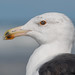 Great Black-Backed Gull by PeterBrannon