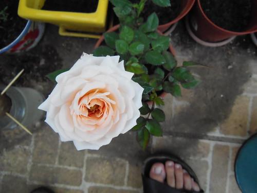 Rosa para mi amoro