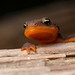 Rough-skinned Newt by Sean McCann (ibycter.com)