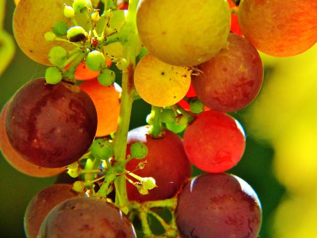 Weinbeeren grapes uva