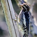Red-naped Sapsucker (juvenile) by Dogsday71