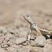 Zebra-tailed Lizard (Callisaurus draconoides) by Hamilton Images