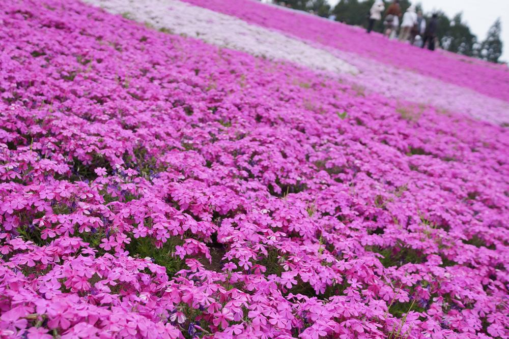 2013-4-30 @秩父羊山公園