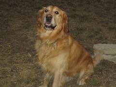 dog breed, animal, dog, hovawart, pet, golden retriever, carnivoran,