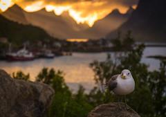 Seagal on Lofoten
