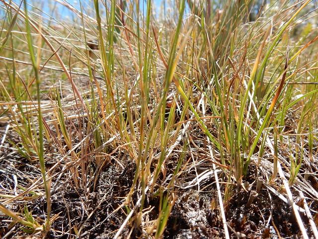 Header of Arenaria congesta var. lithophila