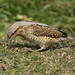 Wryneck feeding - Jynx torquilla by Gary Faulkner's wildlife photography
