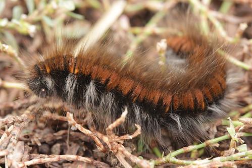 Fox Moth - Macrothylacia rubi